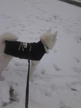 My Japanese Akita lovess the snow